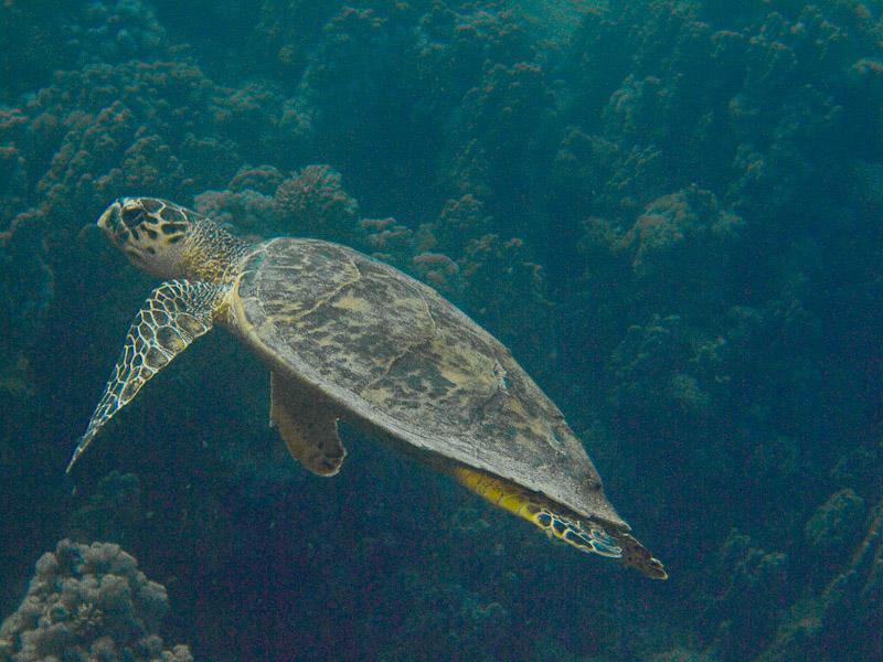 Photo at Ras El Torfa:  Hawksbill Turtle