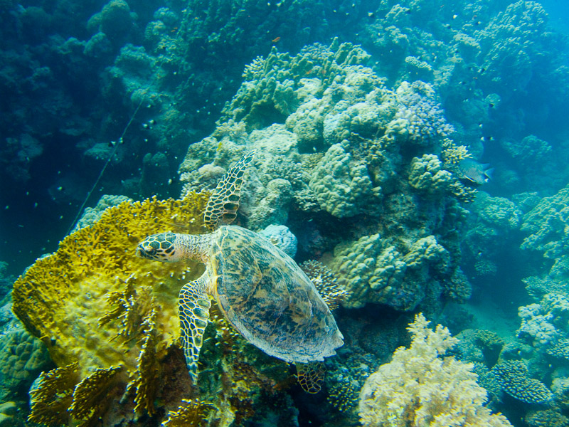 Photo at Ras El Torfa:  Hawksbill Turtle