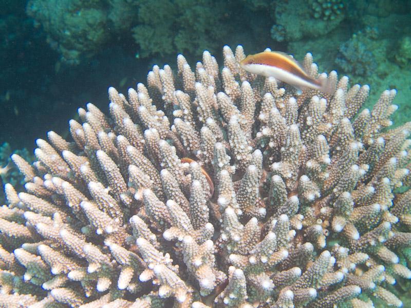 Photo at Ras El Torfa:  Blackside hawkfish