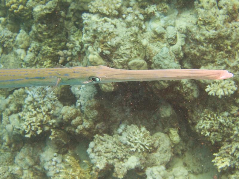 Photo at Marsa Abu Dabab - Reef:  Bluespotted cornetfish