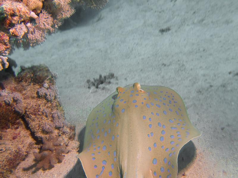 Photo at Marsa Abu Dabab - Reef:  Bluespotted ribbontail ray