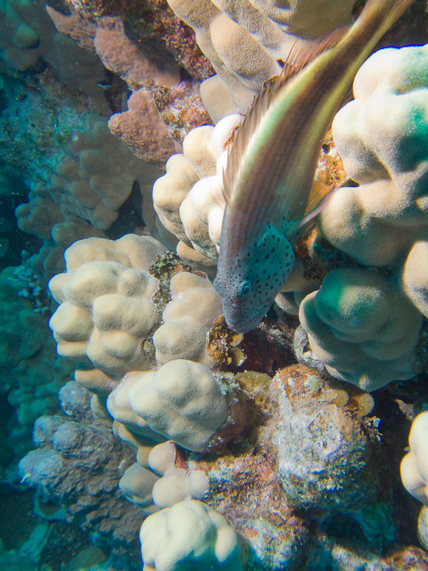 Photo at Marsa Abu Dabab - Reef:  Blackside hawkfish