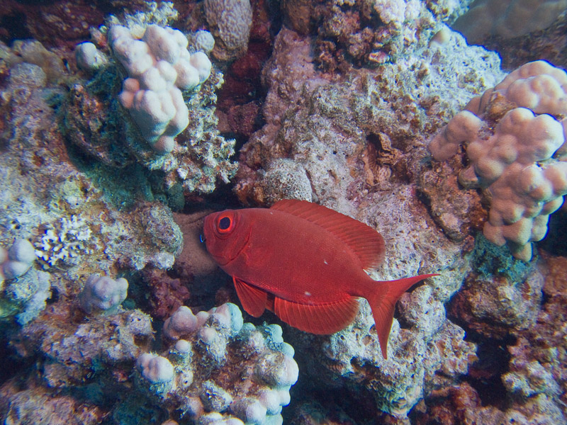 Photo at Marsa Abu Dabab - Reef:  Moontail bullseye