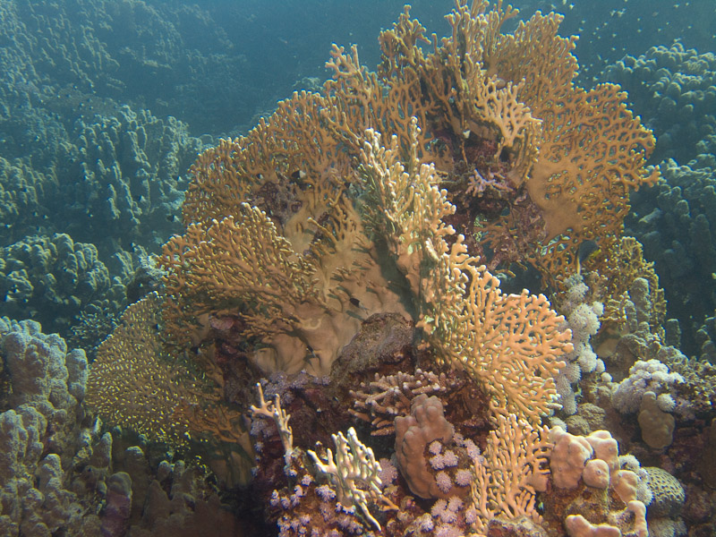 Photo at Marsa Abu Dabab - Reef:  Fire Coral
