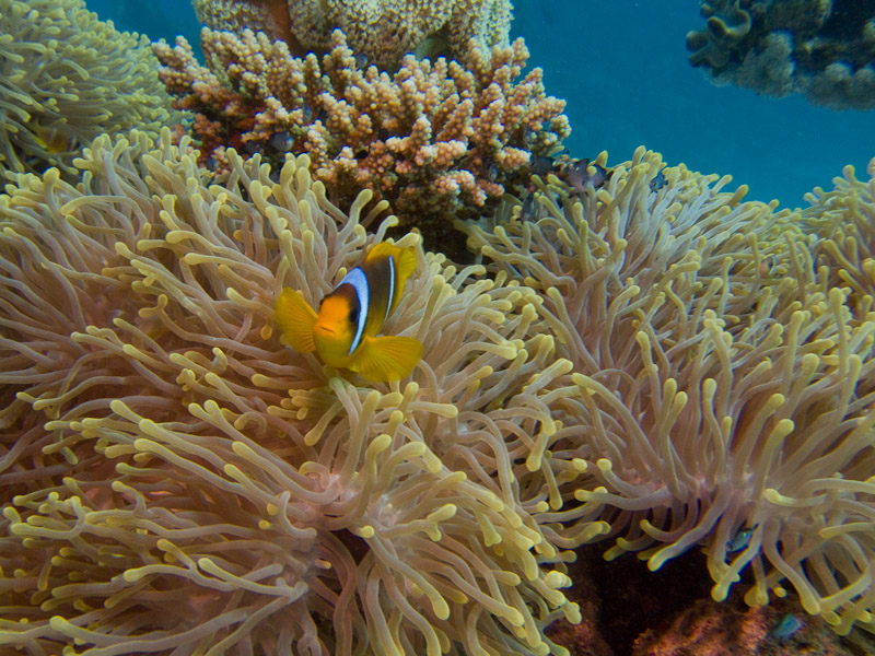 Photo at Sha'ab Samadai:  Twoband anemonefish