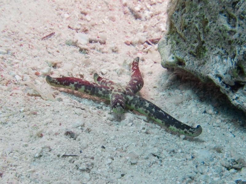 Photo at Sha'ab Samadai:  Hemprich's sea star