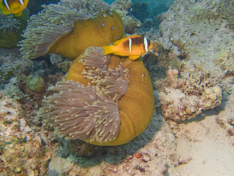 Photo at Sha'ab Samadai:  Twoband anemonefish