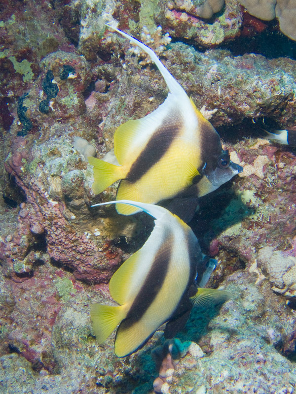 Photo at Sha'ab Samadai:  Red Sea bannerfish