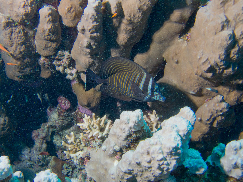 Photo at Marsa Shouni Quebir- South:  Sailfin tang
