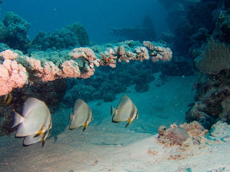Photo at Marsa Shouni Quebir- South:  Orbicular batfish