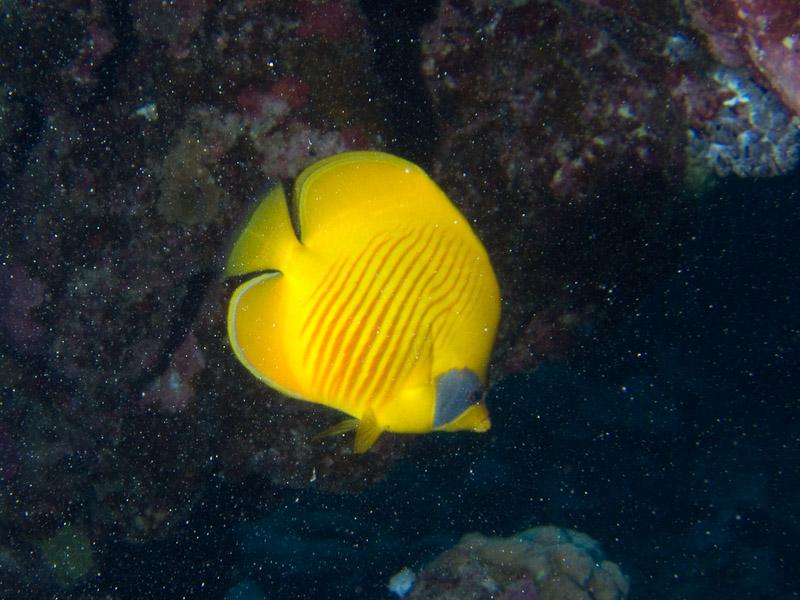 Photo at Marsa Shouni Quebir- South:  Bluecheek butterflyfish