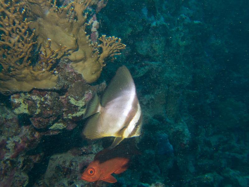 Photo at Marsa Shouni Quebir- South:  Tiera batfish