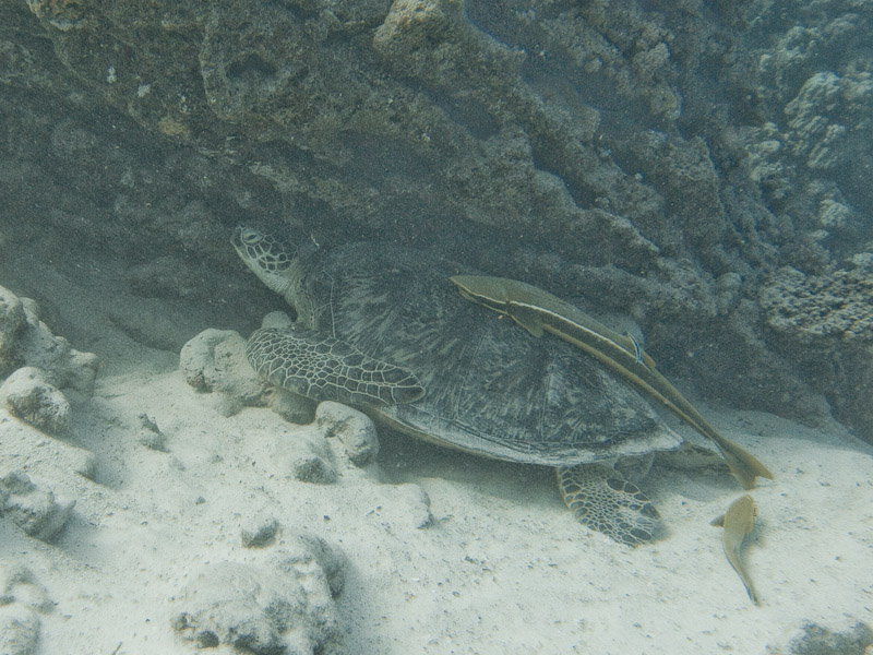 Photo at Marsa Shouni Quebir- South:  Green Turtle