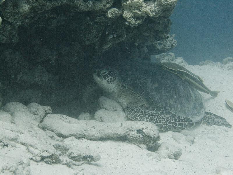 Photo at Marsa Shouni Quebir- South:  Green Turtle