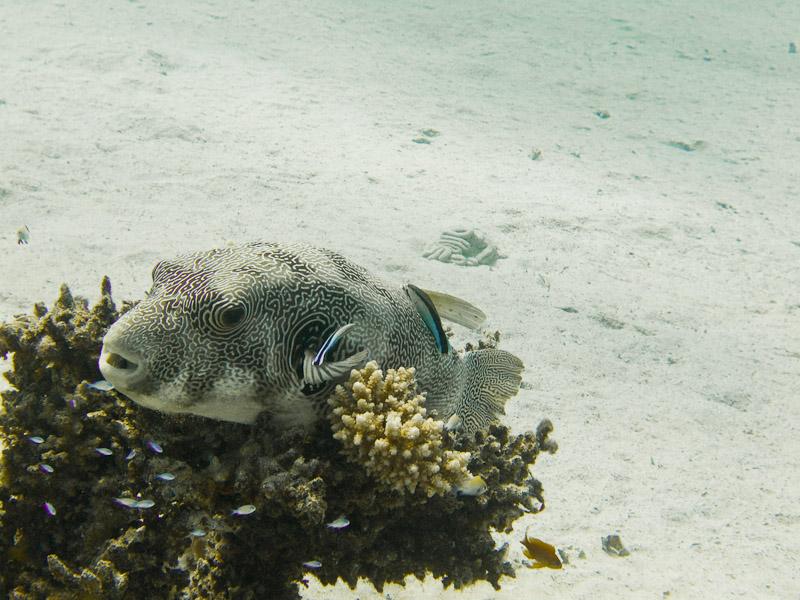 Photo at Marsa Mubarak- Reef:  Reticulated pufferfish