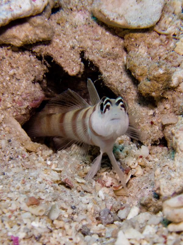 Photo at Marsa Mubarak- Reef:  Steinitz' shrimpgoby