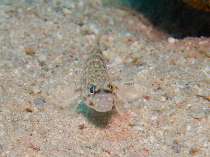 Photo at Marsa Mubarak- Reef:  Decorated goby