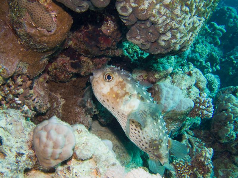 Photo at Marsa Mubarak- Reef:  Spotbase burrfish
