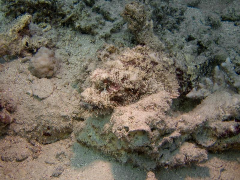 Photo at Marsa Mubarak - Pinnacles:  Bearded scorpionfish