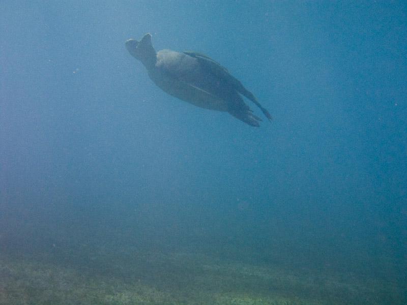 Photo at Marsa Abu Dabab:  Green Turtle