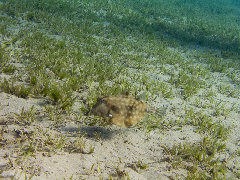 Photo at Marsa Abu Dabab:  Humpback turretfish