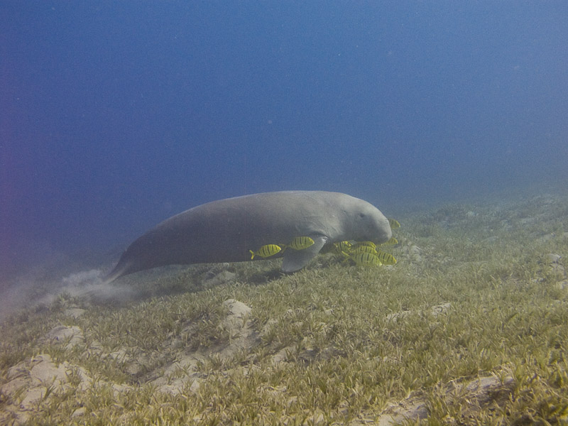 Photo at Marsa Abu Dabab:  Dugong