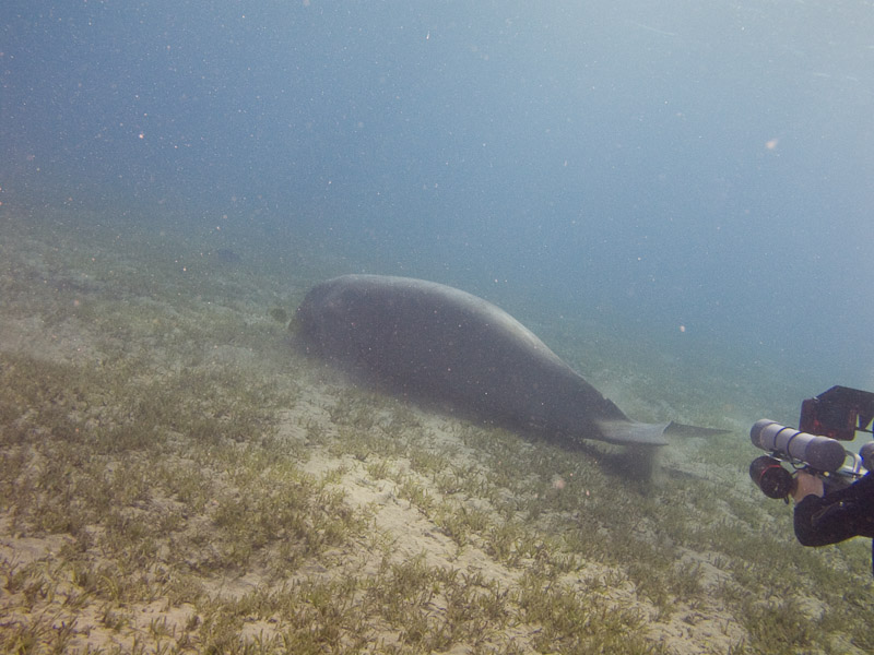Photo at Marsa Abu Dabab:  Dugong