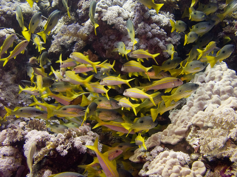 Photo at Elphinstone Reef - East Side:  Blackspot snapper,Yellowfin goatfish