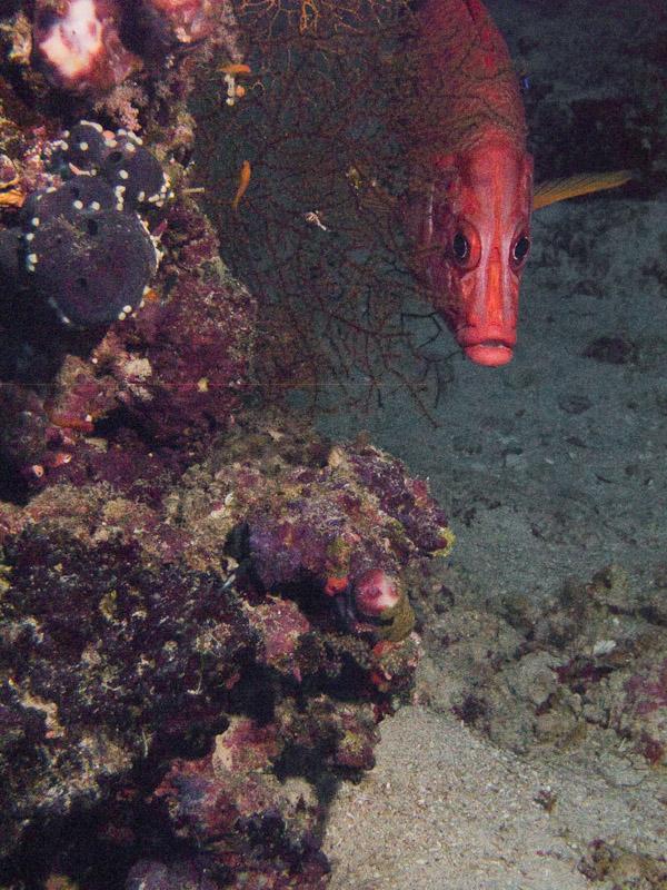 Photo at Elphinstone Reef - East Side:  Sabre squirrelfish