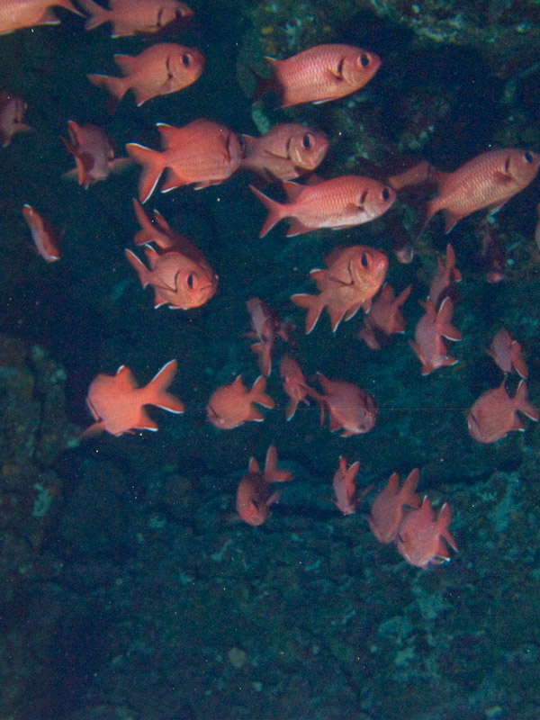 Photo at Elphinstone Reef - East Side:  Pinecone soldierfish