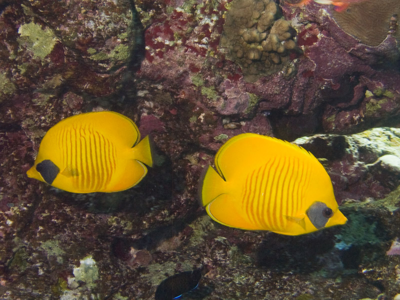 Photo at Elphinstone Reef - East Side:  Bluecheek butterflyfish