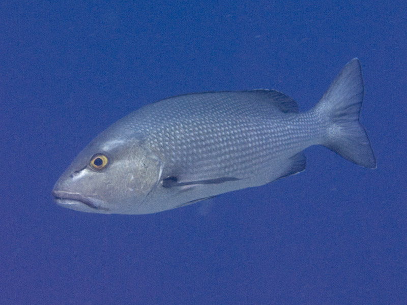 Photo at Elphinstone Reef - West Side:  Two-spot red snapper