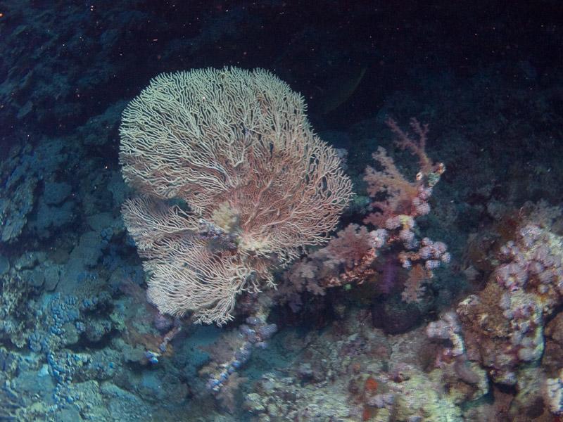 Photo at Elphinstone Reef - West Side:  Gorgonian Sea Fan
