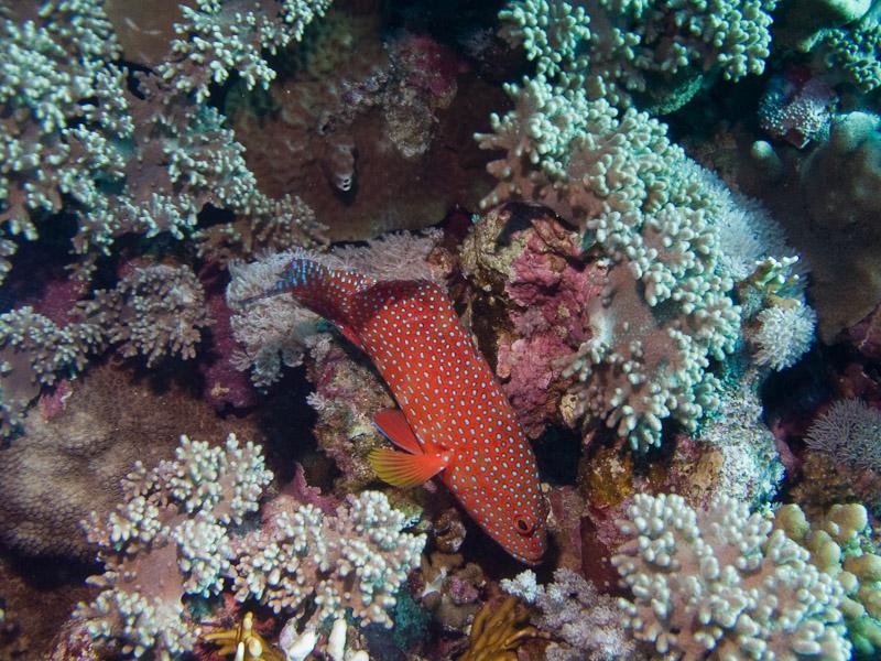 Photo at Elphinstone Reef - West Side:  Coral hind