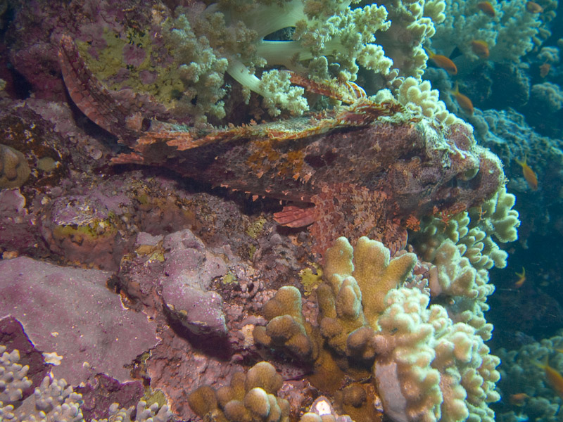 Photo at Elphinstone Reef - West Side:  Bearded scorpionfish