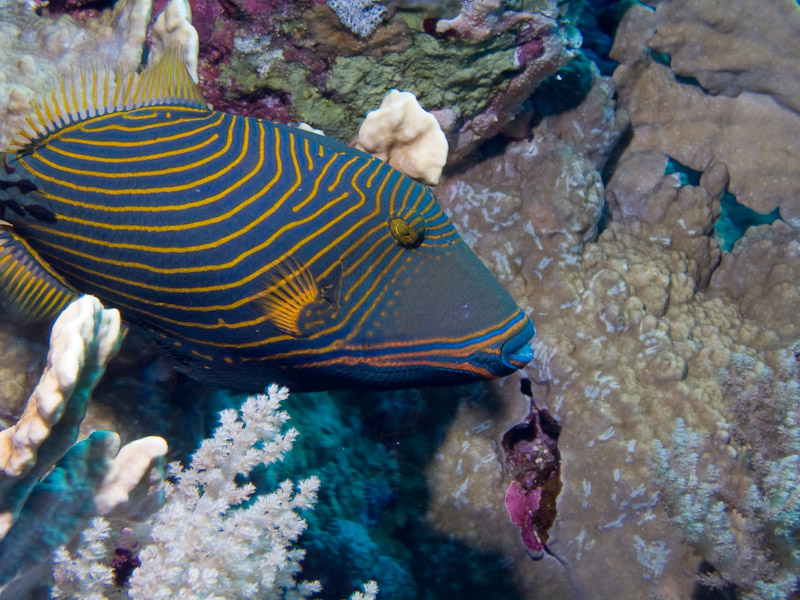 Photo at Elphinstone Reef - West Side:  Orange-lined triggerfish