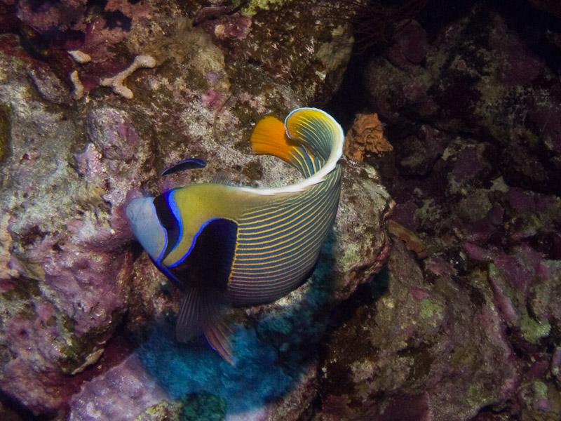 Photo at Elphinstone Reef - West Side:  Emperor Angelfish