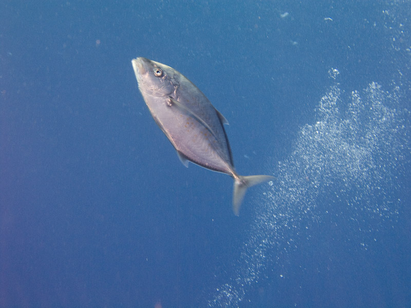 Photo at Elphinstone Reef - West Side:  Orangespotted trevally