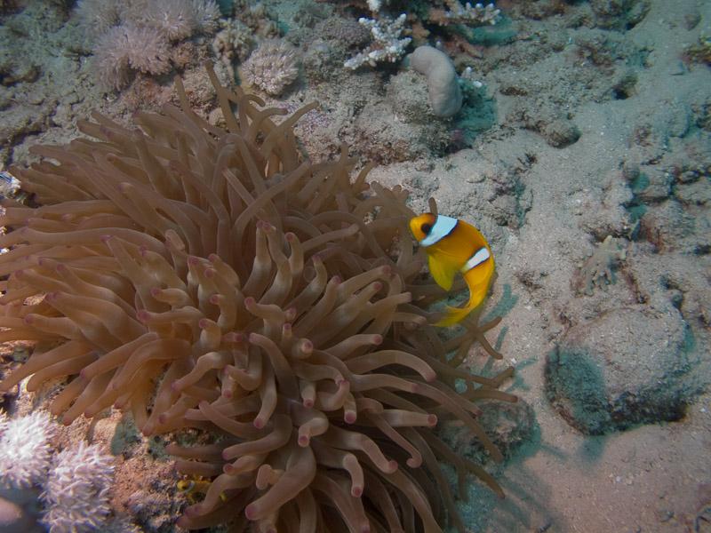 Photo at Marsa Mubarak - Sea Grass:  Twoband anemonefish