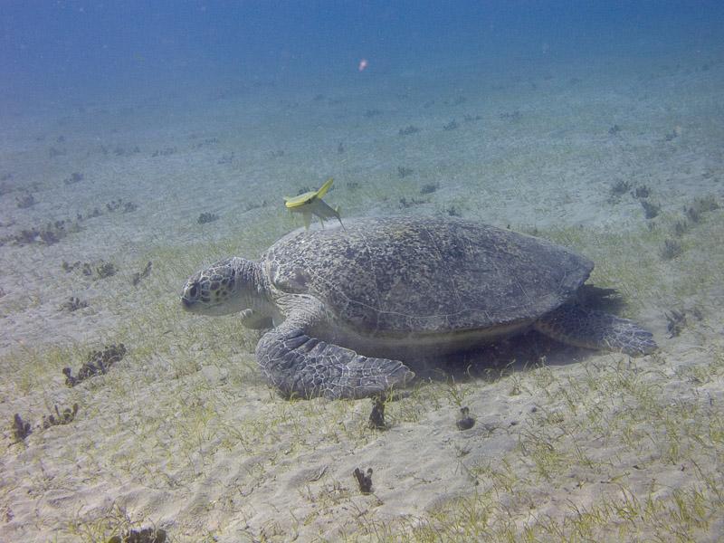 Photo at Marsa Mubarak - Sea Grass:  Green Turtle
