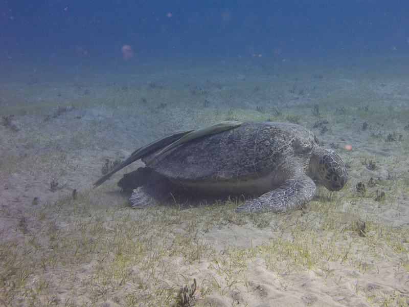 Photo at Marsa Mubarak - Sea Grass:  Green Turtle