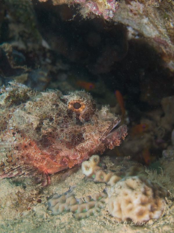 Photo at Pipeline:  Bearded scorpionfish