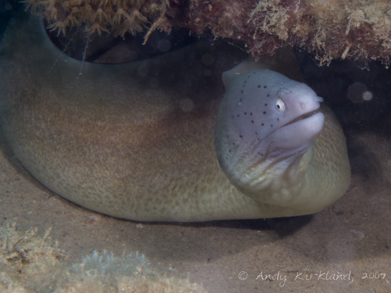 Photo at Pipeline:  Geometric moray