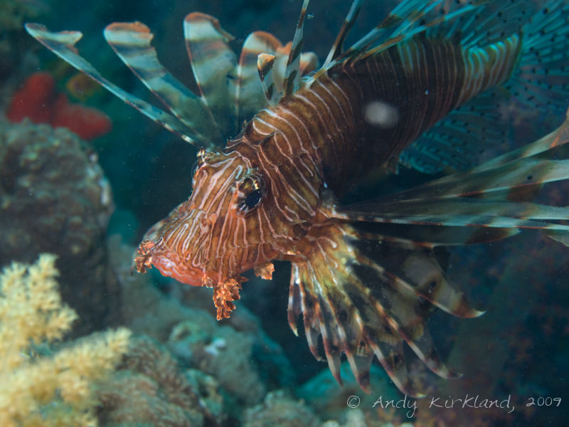 Photo at Pipeline:  Devil firefish