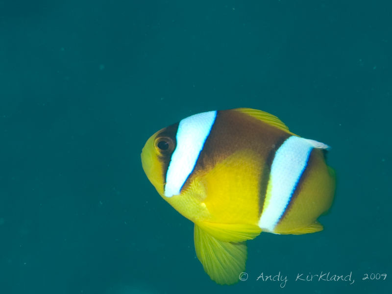 Photo at Pipeline:  Twoband anemonefish