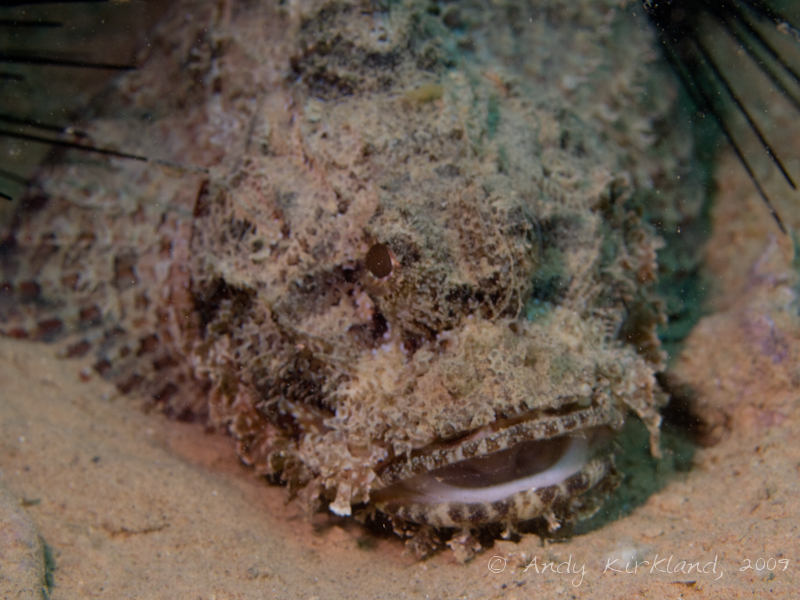 Photo at Abou Lou Lou:  Bearded scorpionfish