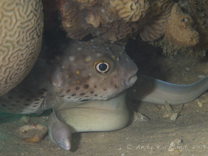 Photo at Abou Lou Lou:  Geometric moray,Spotbase burrfish