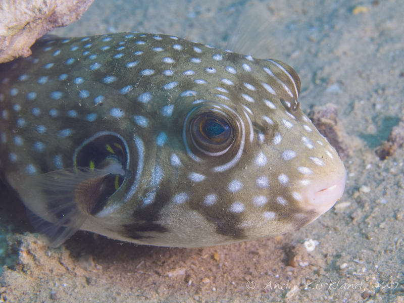 Photo at Abou Lou Lou:  White-spotted puffer