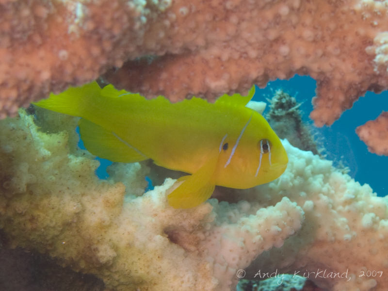 Photo at Ras Mamlach:  Poison goby