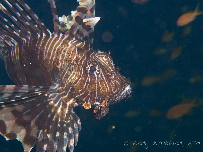 Photo at Ras Mamlach:  Devil firefish